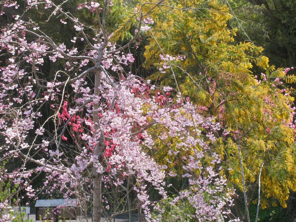 枝垂れ桜、花桃、ミモザ