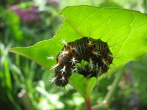 瑠璃立羽(ルリタテハ)の幼虫