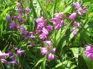 紫欄(シラン)