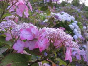 のんびりぼっこ広場の紫陽花(あじさい)