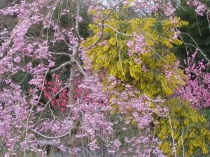 枝垂れ八重桜、ミモザ、花桃(ピンク)、花桃(紅)