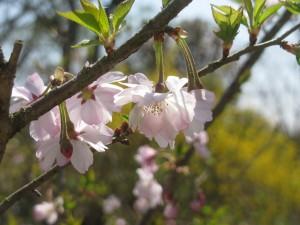十月桜、連翹