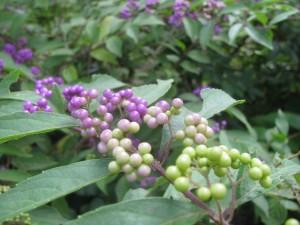 色付き始めた小紫の実