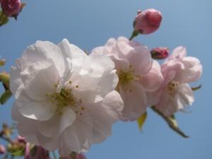 2010年の彼岸桜